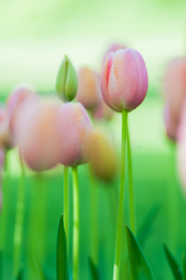 Delicate pink tulip stock images
