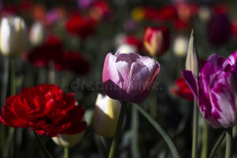 Delicate pink Tulip on the background of red, white and orange tulips of different types. Spring flowers bloom on a Sunny day.  royalty free stock photo