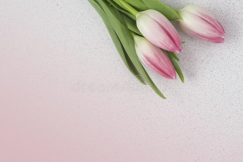 Delicate pink tulips on pink background with copy space.  royalty free stock photography