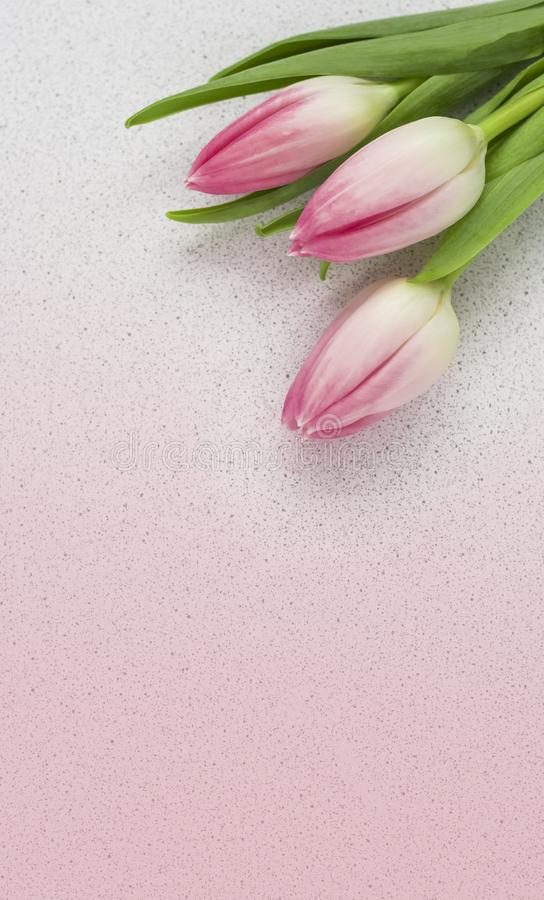 Delicate pink tulips on pink background with copy space, postcard.  royalty free stock image