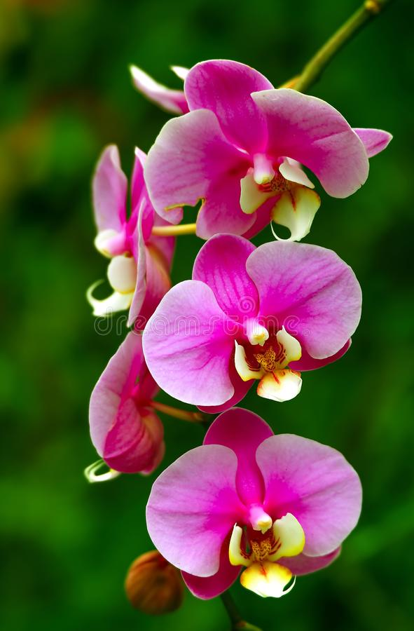 Delicate pink and yellow colored orchids in spring stock photo