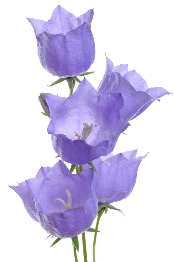 Delicate purple bell flower stock image