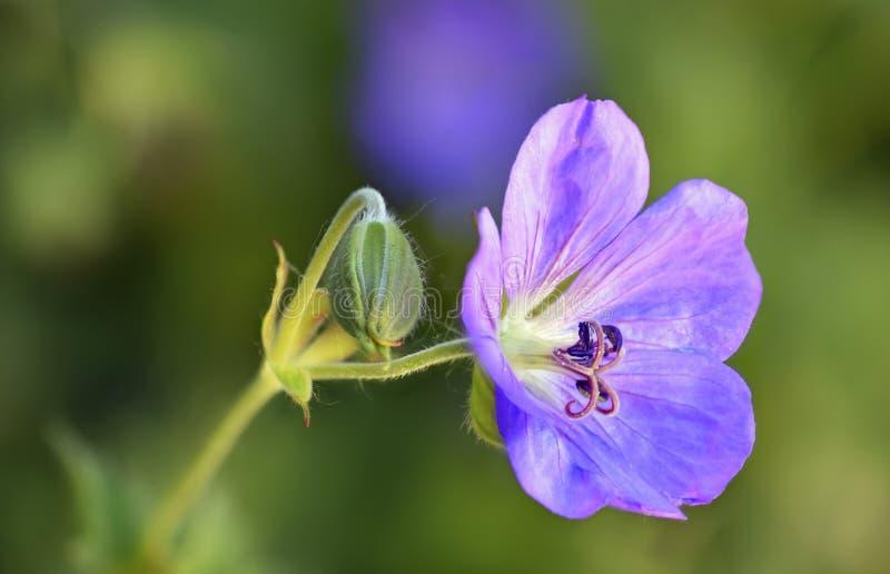 Delicate Purple Cranes-bill Geranium flower royalty free stock images