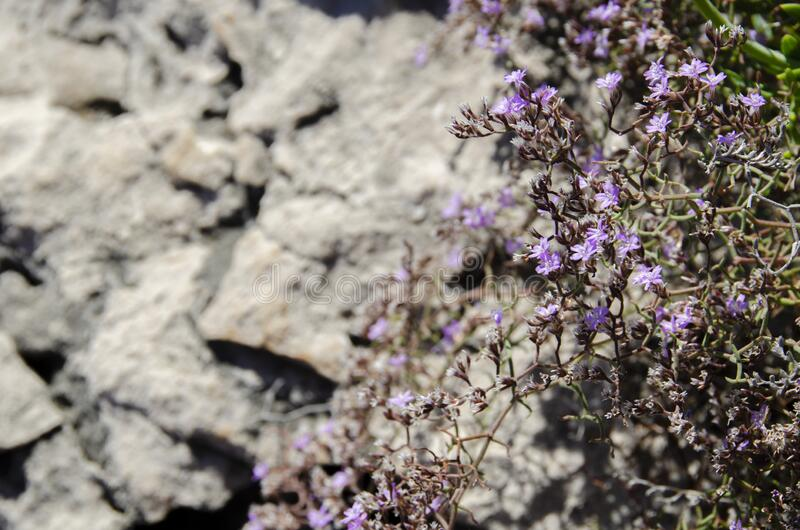 Delicate Purple Flowers. A closeup of delicate purple flowers above rocks royalty free stock image