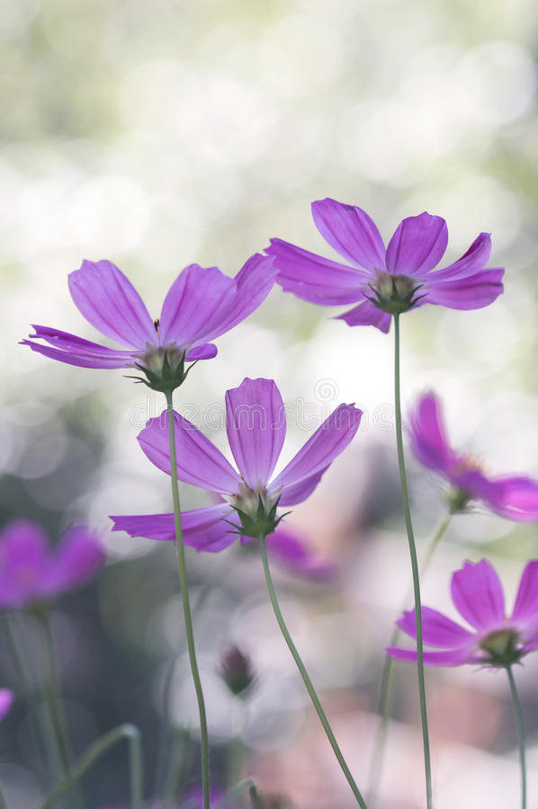 Delicate purple flowers looking up with pastel colors, background bokeh. Soft selective focus royalty free stock photography