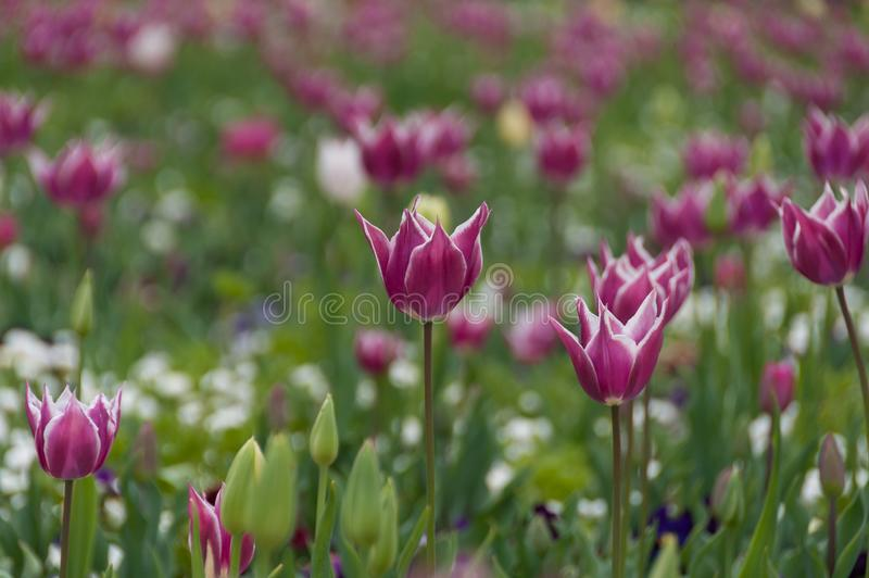 Delicate purple tulip flowers floral nature background stock photography