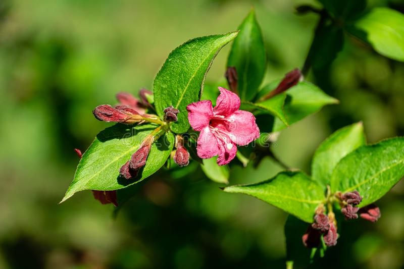 Delicate red flowers and buds of beginning of Weigela Bristol Ruby blossom. Selective focus and close-up beautiful bright. Flowers against green bokeh royalty free stock image
