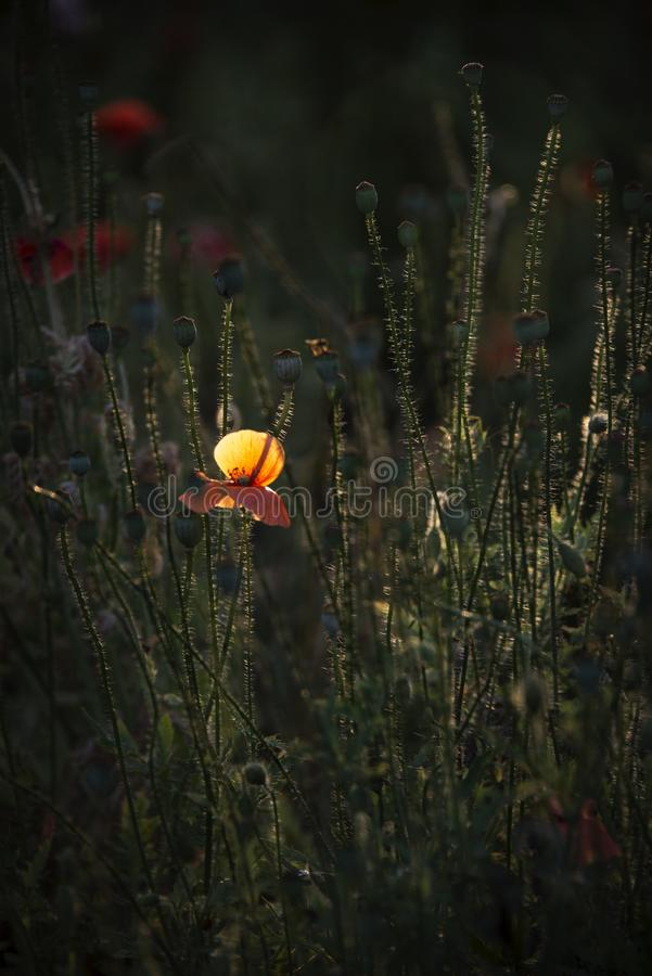 Delicate, red in the garden area.A bright red poppy, attracts bees. Poppy, gentle movements in the breeze. Delicate, red in the garden area. Poppy, textured stock photography
