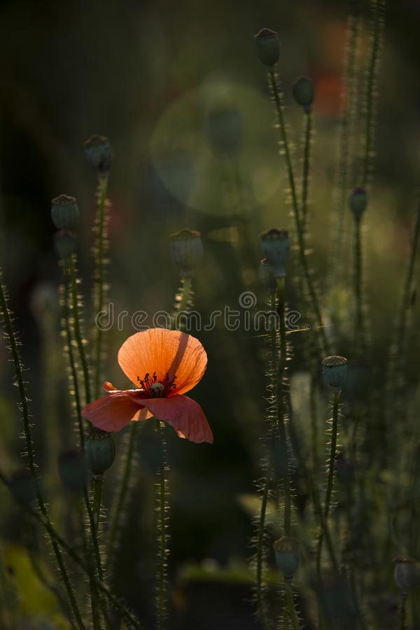 Delicate, red in the garden area.A bright red poppy, attracts bees. Poppy, gentle movements in the breeze. Delicate, red in the garden area. Poppy, textured stock photo