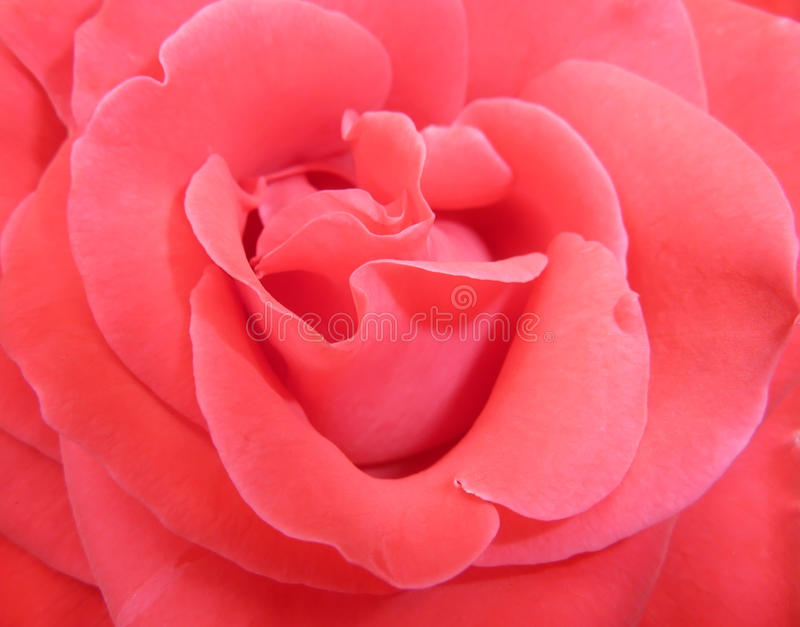 Download Delicate red rose stock photo. Image of abstract, petals - 11448136