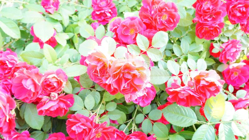 Delicate red roses on the branches royalty free stock photo