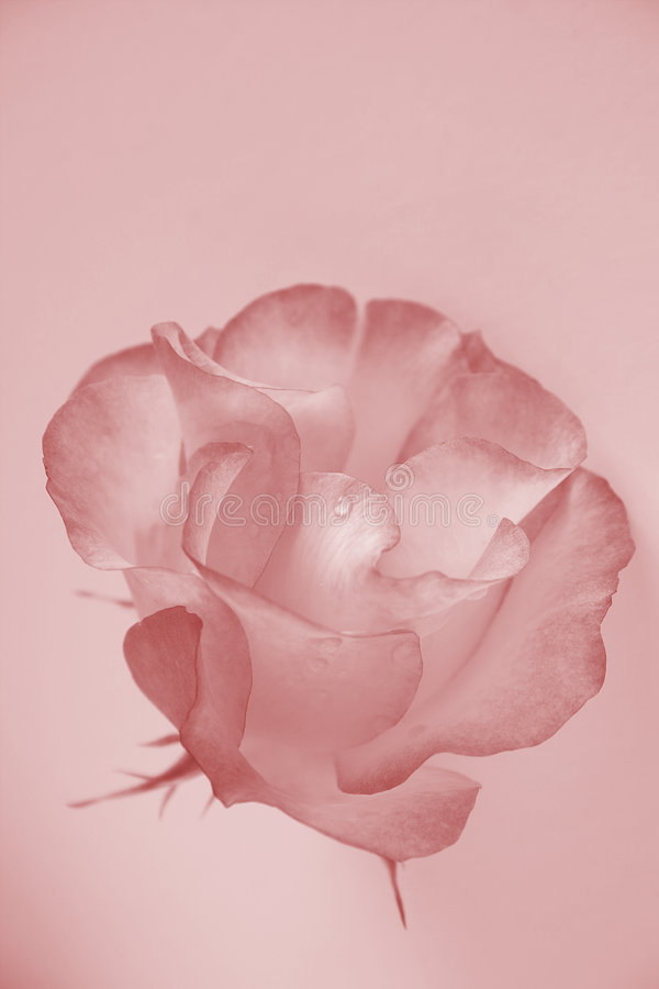 Delicate rose stock images