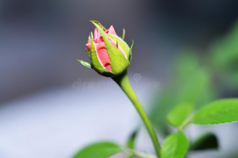 Delicate rose bud. Pink domestic rose. Beautiful flower. royalty free stock photos