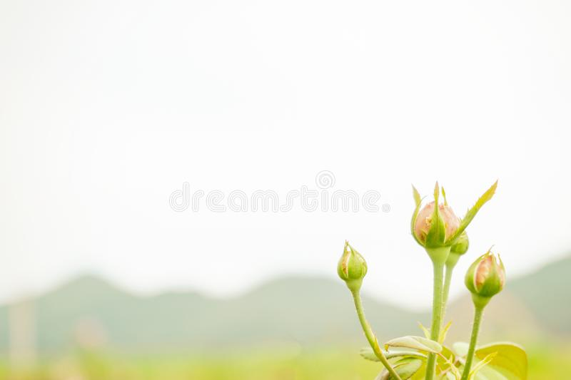 Delicate rose in the garden on mountain background stock photo