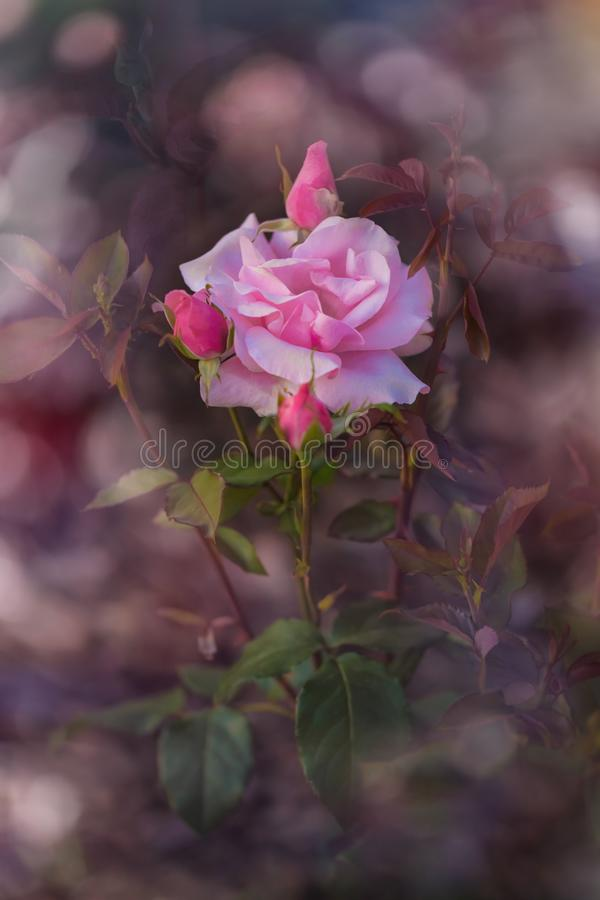 Delicate rose on violet background royalty free stock images