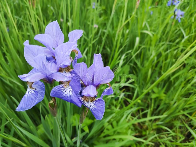 Delicate siberian blue iris flowers on a flower bed in the park royalty free stock photos