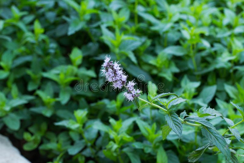 Fresh Mint Blossom During Summer royalty free stock photos