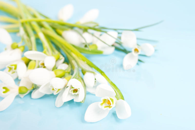 Delicate snowdrops on a blue. Background stock photos