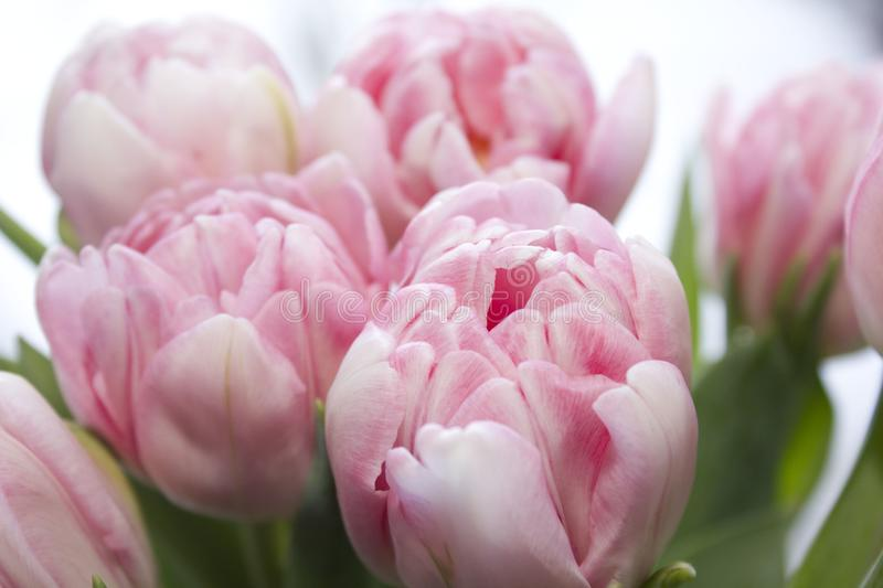 Delicate, soft, delicate pink Tulip with green leaves close-up. Beautiful spring flowers in a bouquet. The variety of tulips stock image