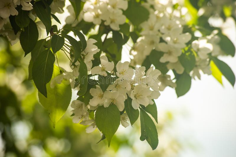 Delicate soft white flowers on the tree stock image