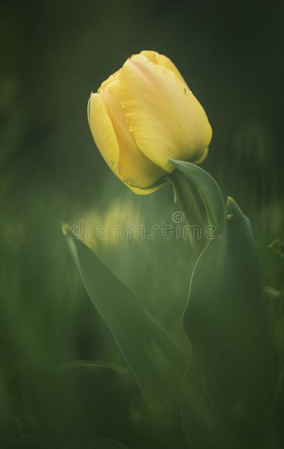 Delicate spring tulip flower royalty free stock photos