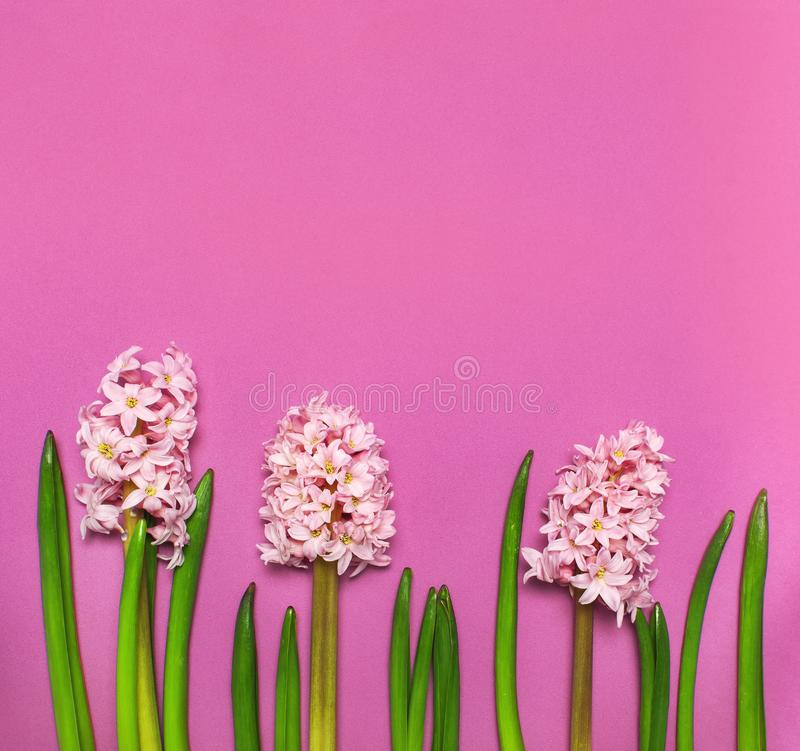 Delicate spring pink hyacinth on bright pink background top view Flat lay. Pink Hyacinth flower, greeting card. Flower symbol of royalty free stock photography