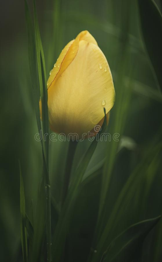 Delicate spring tulip flower royalty free stock photo
