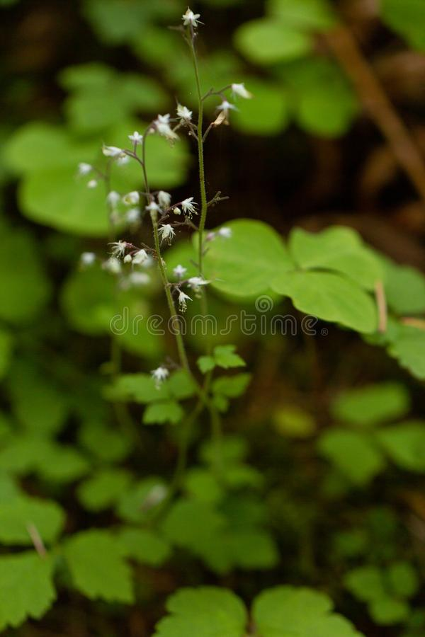 Delicate tiny star shaped blooms on wildflower. Growing on mount rainier stock image