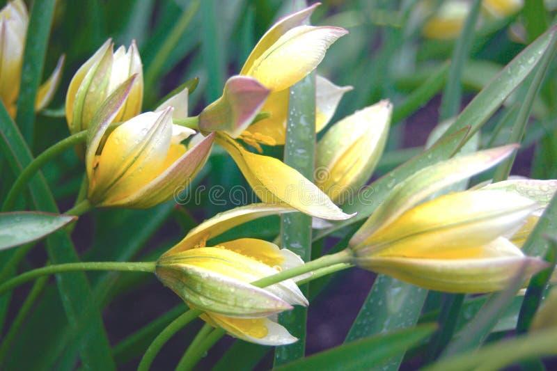 Delicate tulipa tarda flowers in rainy weather stock images