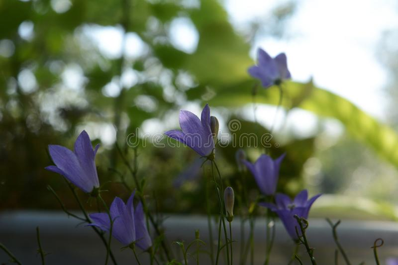 Delicate violet flowers of bellflower on blurred natural background.  stock photography