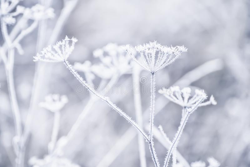Delicate openwork flowers in the frost. Delicate weightless inflorescences covered with snow-white frost. Very soft selective focus. Delicate flowers are frosty royalty free stock photos