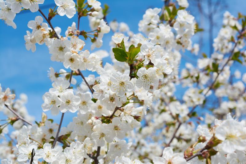 Delicate white blooming cherry flowers in the spring garden. Blossoming fruit tree stock photography