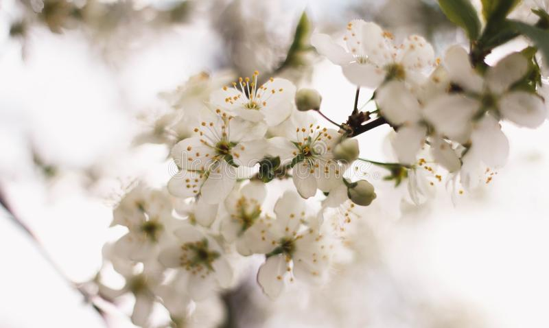 Delicate white branch of a flowering Apple tree. Close up. Flowering garden trees. Cherry blossoms royalty free stock photography
