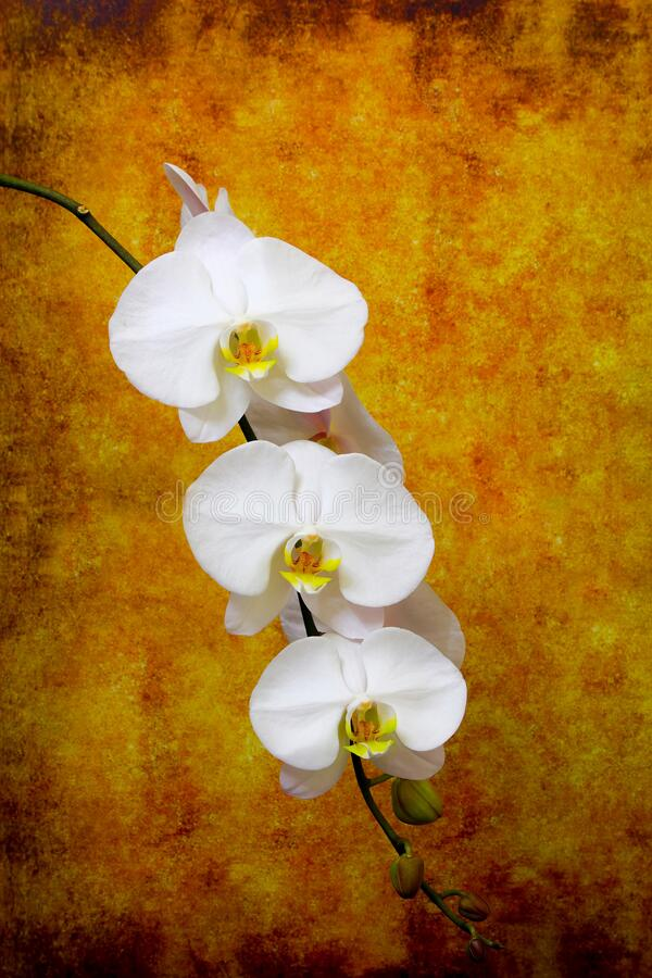 Delicate white branch of phalaenopsis orchids on abstract grunge background stock photography