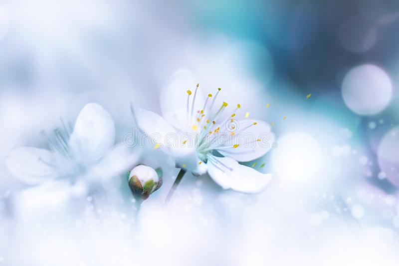 Delicate white cherry flowers. Artistic macro image. Spring summer background. Free space for text. royalty free stock photography