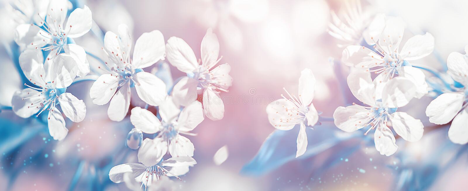Delicate white cherry flowers. Beautiful fantastic spring background. Banner format. Selective focus. Delicate white cherry flowers. Beautiful fantastic spring royalty free stock photos