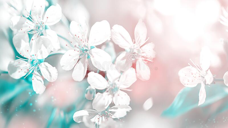 Delicate white cherry flowers. Beautiful fantastic spring background. Selective focus. Delicate white cherry flowers. Beautiful fantastic spring background stock photography
