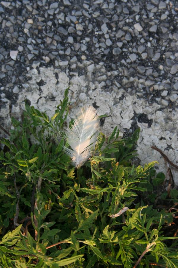 A delicate white feather softly lands on bright green plants near the rocky asphalt as the morning sunlight gently illuminates it. royalty free stock photography