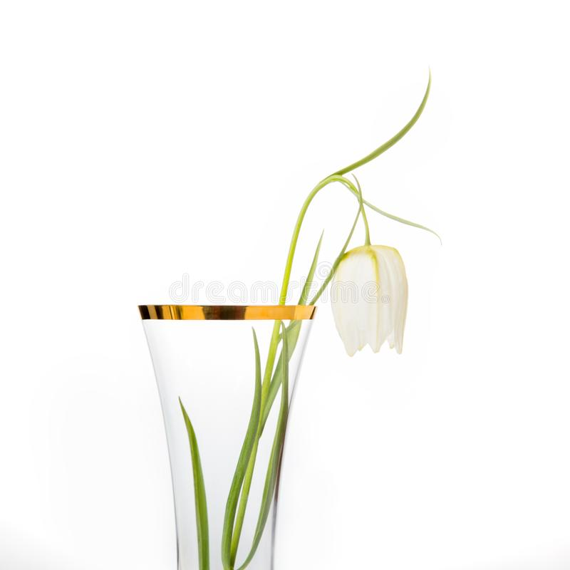 Delicate white flower Snake`s Head Fritillary, Fritillaria Meleagris in glass vase with gold rim on a white background royalty free stock photo