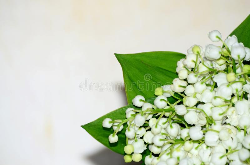 Delicate white flowers of a lily of the valley on a plain background, spring early flowers.  royalty free stock photo
