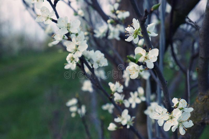 Plum blossom in late afternoon light. Delicate white flowers in spring. White plum blossom closely photographed in late cold afternoon light stock photos