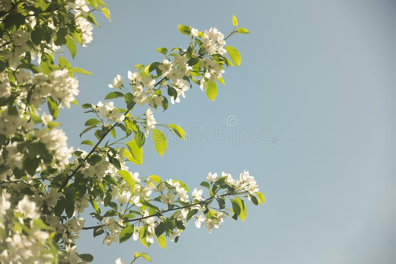 Delicate white flowers on the tree on blue background stock images