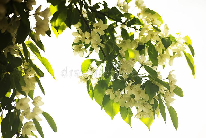 Delicate white flowers on the tree in bright light backlit stock photo