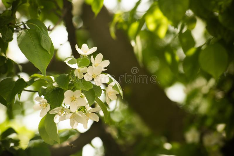 Delicate white flowers on the tree stock photos