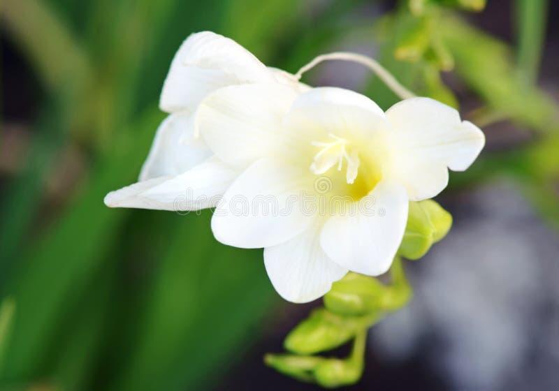 Delicate white fragrant Freesia open flower plant stock image