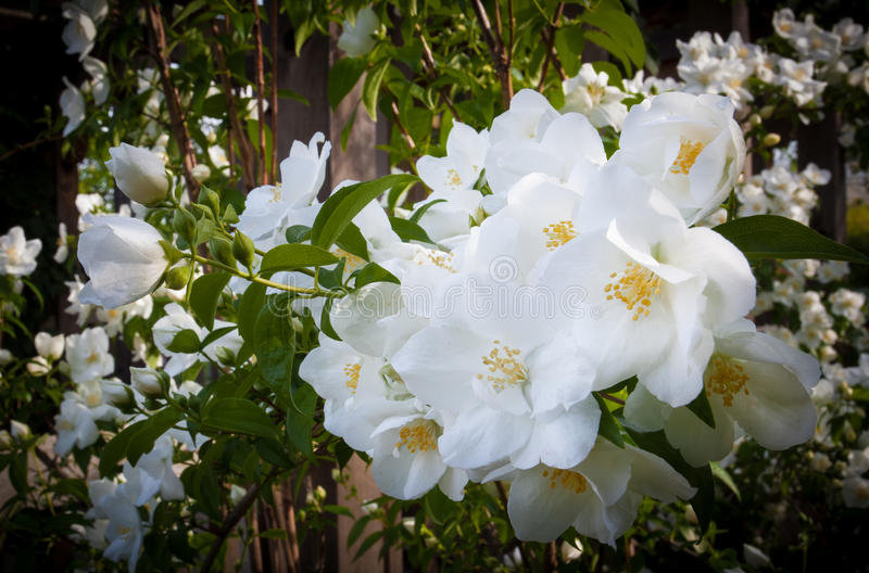 Delicate, white, knock-out roses in full bloom stock photography