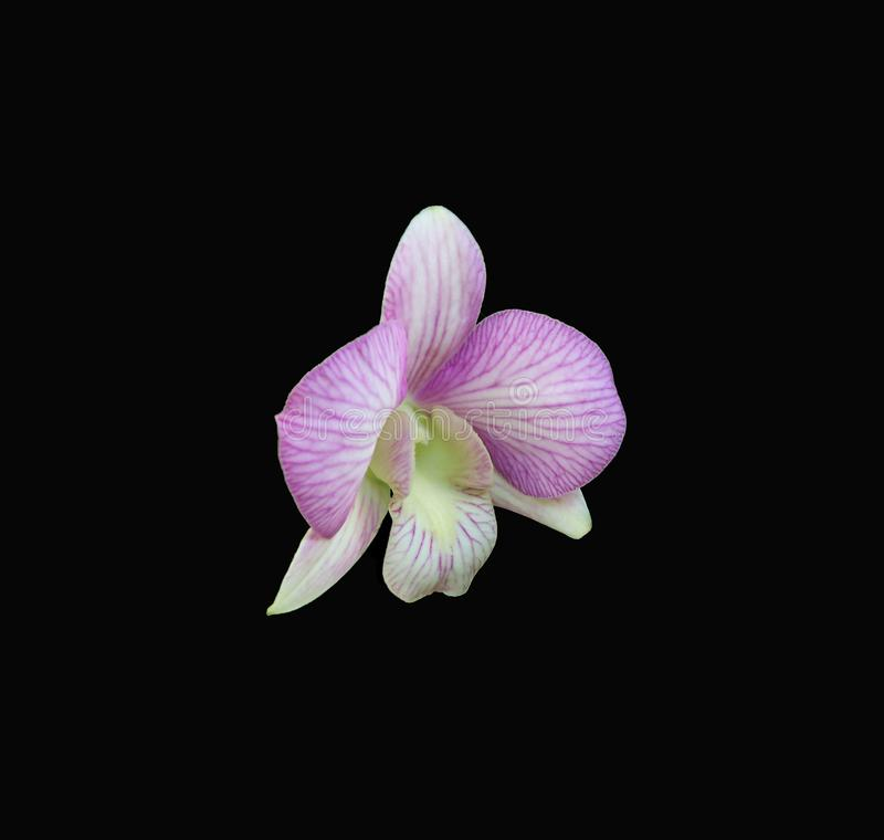 Delicate Dendrobium Orchid on a dramatic black background. A delicate white with pink veins, this Dendrobium Orchid is centered on a dramatic black background royalty free stock photography