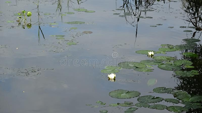 Delicate white water lilies. Lake surface with wild white water lily flowers and leaves in forest environments stock images