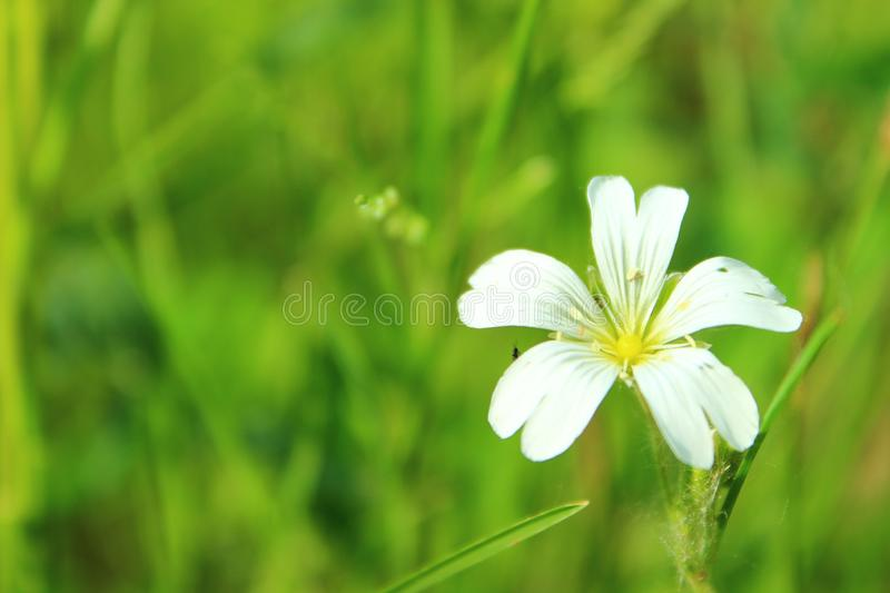 Delicate white wild flower on a background of green. Meadow royalty free stock image