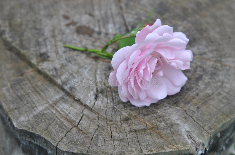 Delicate wild rose flower on a old dark wood background royalty free stock photo